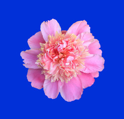 blooming flower pink peony close up, top view isolated on blue background