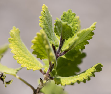 Weihrauch als Heilpflanze für Naturmedizin und Pflanzenheilkunde