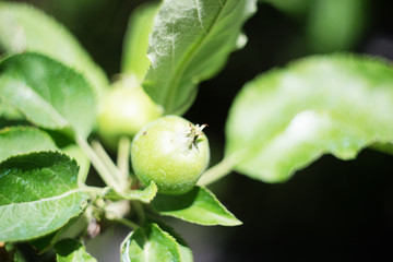 Unripe apples in the garden