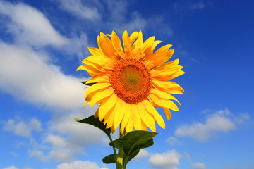 nice sunflower in summer day