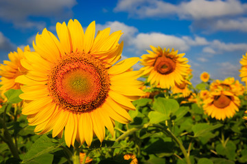 nice yellow sunflowers