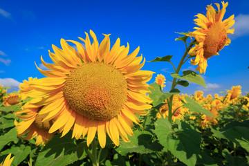 Yellow sunflowers under blue sky