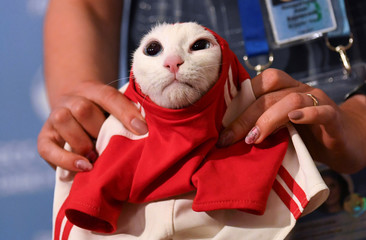 A participant dresses Achilles the cat, which attempts to predict the result of the opening match of the 2018 FIFA World Cup between Russia and Saudi Arabia during an event in Saint Petersburg