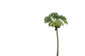 Organic papaya tree on isolated background.