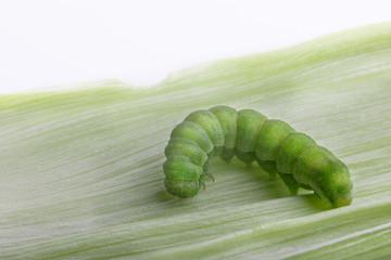 A green caterpillar crawls on a leaf