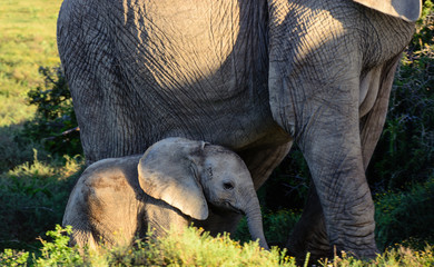 Color outdoor portrait of a cute sweet lovely elephant baby and mother taken in South Africa on a sunny day