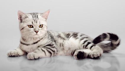 kitten scottish fold