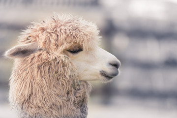 Cute and funny Alpaca in farm, friendly animal.