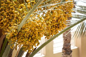 Ripe Dates growing palm tree. Balcony view. Dubai, UAE.