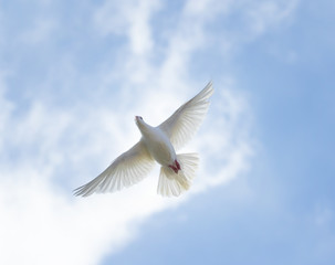 upper view of white feather homing pigeon flying against beautiful bright blue sky