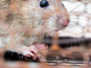 Select focus of the nail of the rat in the nick. Homes and dwellings should not have mice. Pest control.Animal contagious diseases prevent