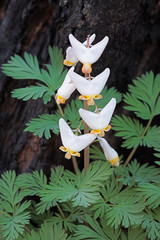 Regrowth of a the dutchman's breeches