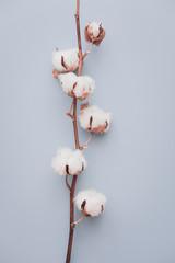 Cotton flower on pastel blue, minimal flatlay