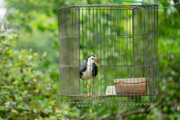 White-breasted waterhen in cage,Bird jungle.