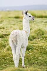 A baby llama standing in the Altiplano grasslands