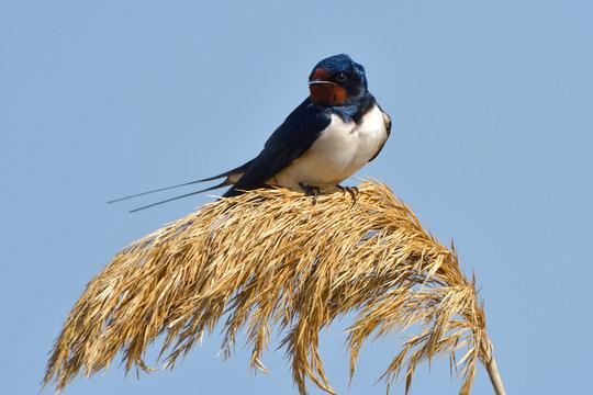 Barn swallow on reed flower