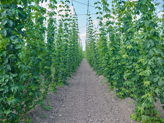 Plants: Seemingly endless row with young bines in a hop yard in Eastern Thuringia in early June