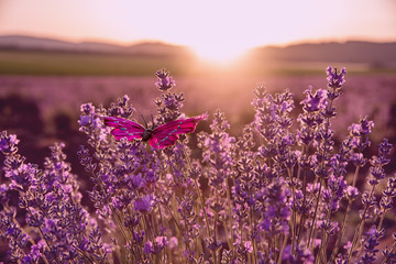 Lavender field at sunset and beautiful butterfly