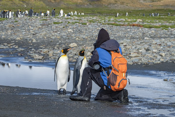 Photographing King Penguins, South Georgia Island, Antarctic