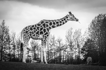 Tall giraffe standing on a meadow