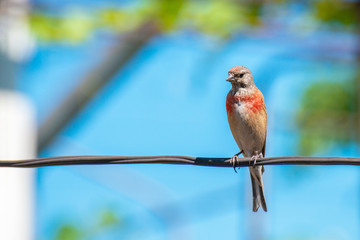 Tapdog, creeper, bird of the passerine family sitting on the wire and looking close up