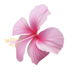 Realistic pink hibiscus. The symbol of rare elegant beauty.