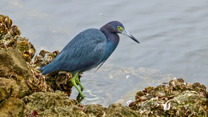Little Blue Heron Fishing for Food
