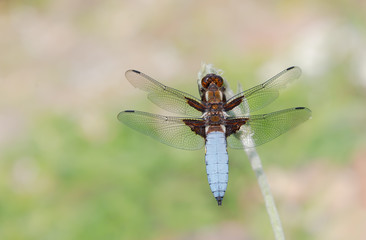 Dragonfly male Libellula depressa, west of Germany