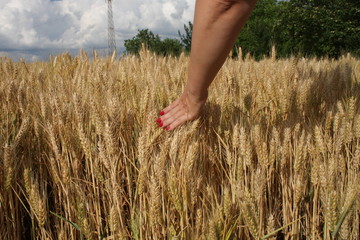 Wheat sprouts in a woman's farmer hand