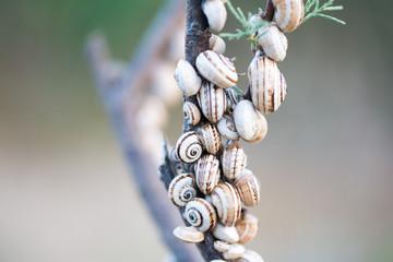 Schnecken - Baumschnecken auf Ast