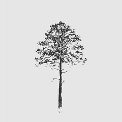 Pine tree. Black line drawing Isolated on light gray background. Hand drawn vector illustration. Pencil sketch.