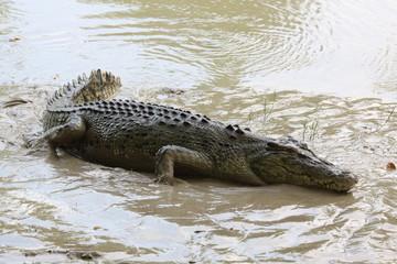 wild salt water crocodile (alligator) outside in low mud