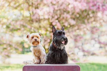 Portrait of two dogs friends west scottish and yorkshire terrier playing in the park on the autumn foliage. gold nature. dog in red pullover and grey coat