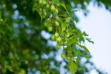 Green cherries on the tree. Slovakia