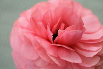 Close Up Of A Pale Pink Ranunculus Flower