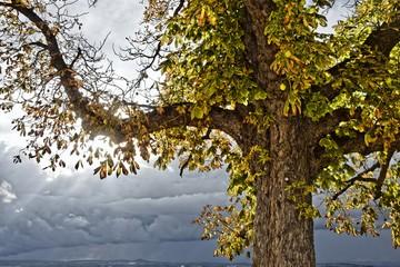 Rosskastanie im Herbst