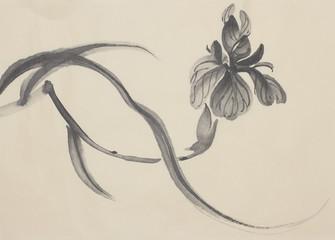black iris flower