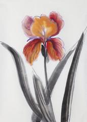red orange iris