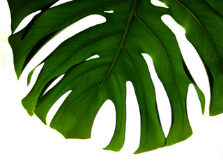 Real tropical leaves on white backgrounds.Botanical nature concepts.flat lay design. Green leaf