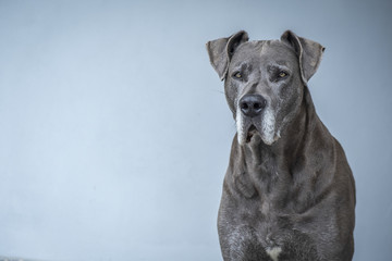 Beautiful Great Dane attentive