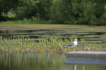 seagull at a pond