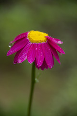 the pink camomile contracted in the rain