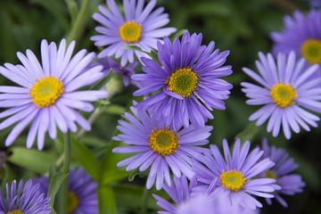 Alpine lilac camomiles