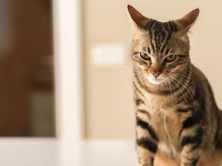 Beautiful feline cat at home. Domestic animal
