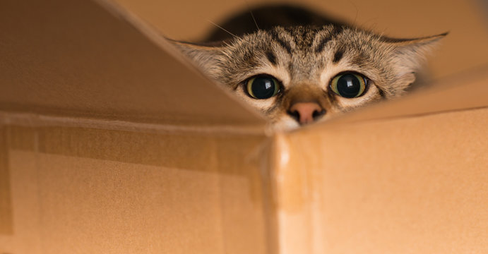 Beautiful cat playing hide and seek in a cardboard box