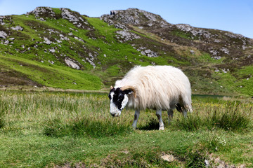 sheep in pasture eating wild grass