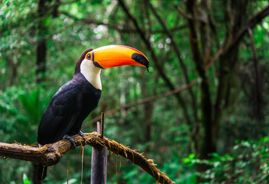 Toucan tropical bird sitting on a tree branch in natural wildlife environment in rainforest jungle