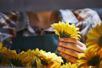 Female Florist Holding Yellow Gerbera Daisy In Greenhouse