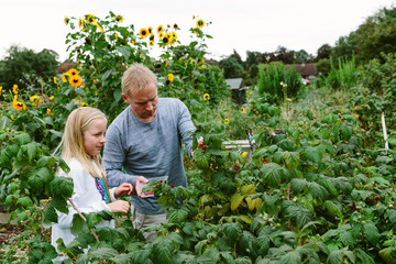 Father and daughter picking raspberries