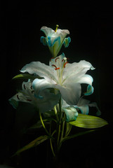 Blue lily painted light flash in the dark, gift, love sign mothers day, latin america. Guatemala.